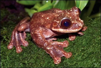 One million species face extinction in the next decades, like this extinct frog, photo by Brian Gratwicke/CC