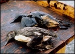 Birds killed as a result of oil from the Exxon Valdez spill, photo Exxon Valdez Oil Spill Trustee Council.
