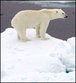Polar bear on sea ice, photo by NASA